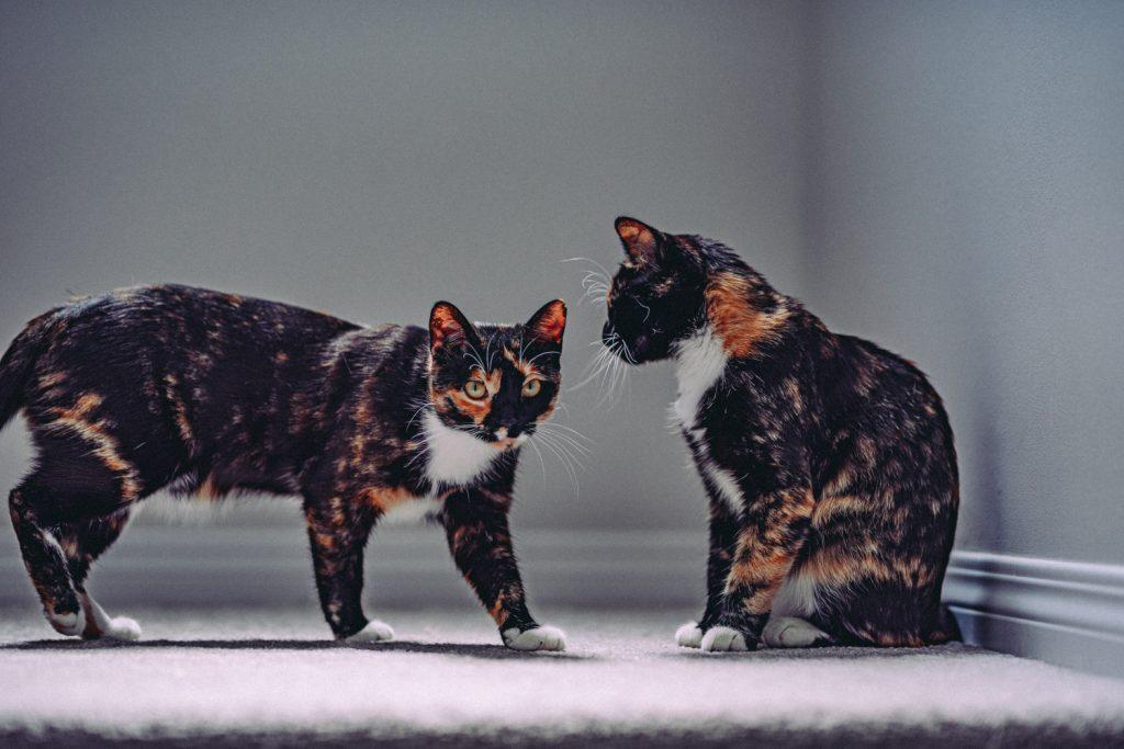 kattennamen duo