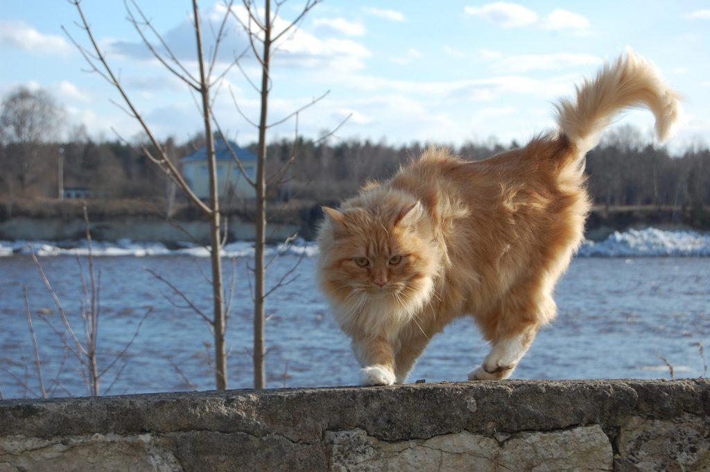 kattenrassen noorse boskat