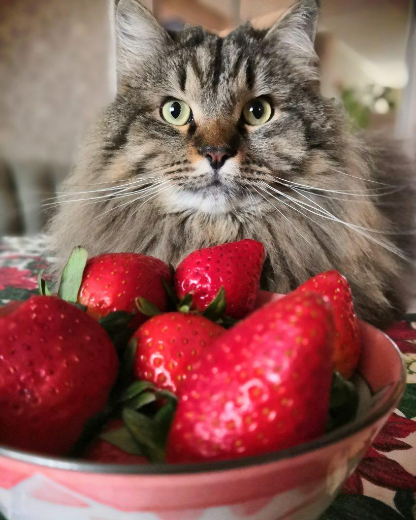 Mogen katten aardbeien