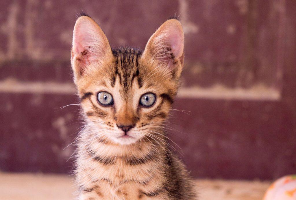 kattenrassen Savannah kat