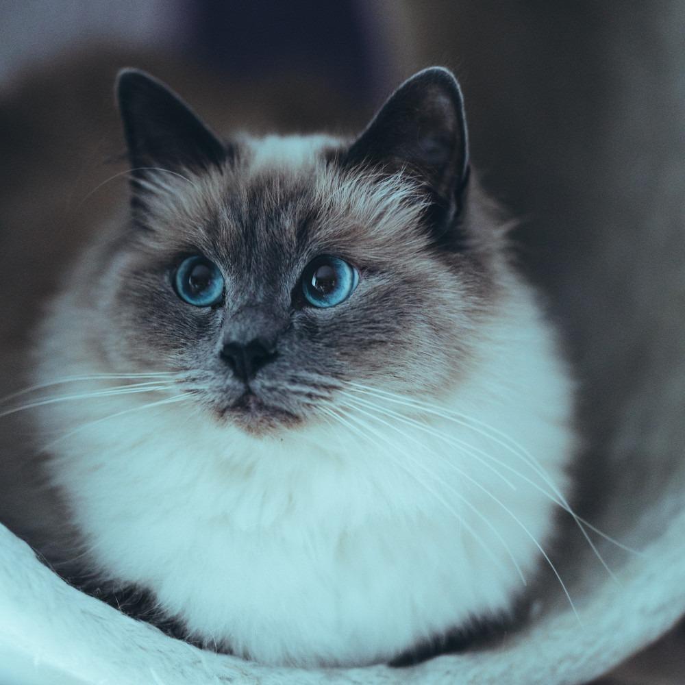 informatie over katten de ragdoll