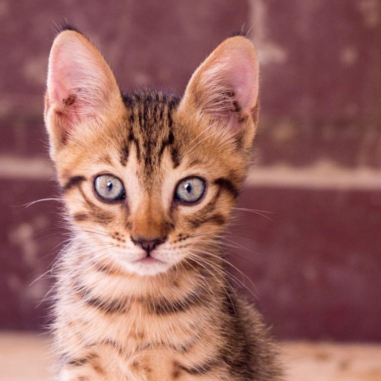 katten informatie over de savannah kat