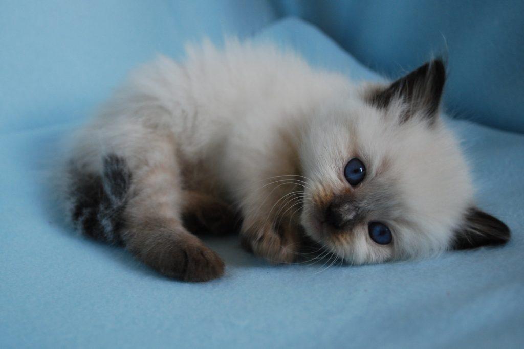 ragdoll kleuren bij kittens