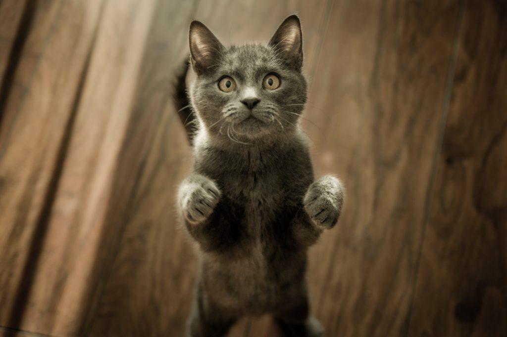 hoeveel tepels heeft een kat